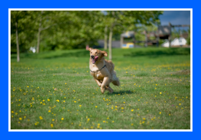 Pet runs through the grass at a dog kennel found at Pet Hotels of America