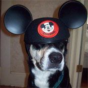 Photo of a Dog Wearing Mickey Mouse Ears