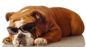 English bulldog relaxing